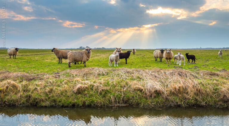 Mehrere interessierte Schafe auf Eiderstedt
